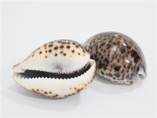 Tiger Cowry Shell Alohaoutlet