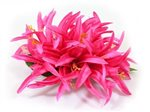 Hot Pink Large Spider Lily Hair Clip 6""